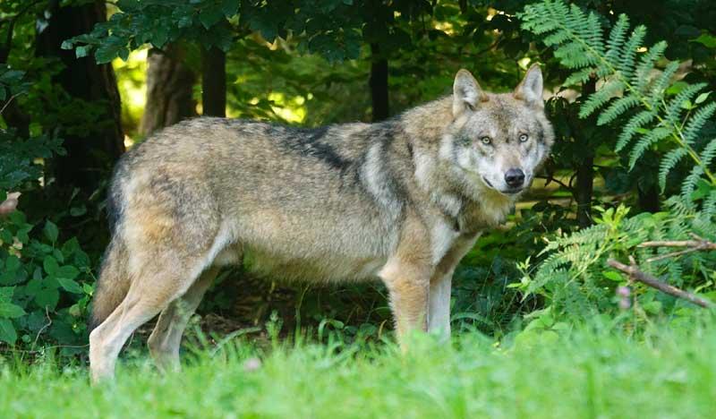 Quien teme al lobo feroz. Los 3 cerditos